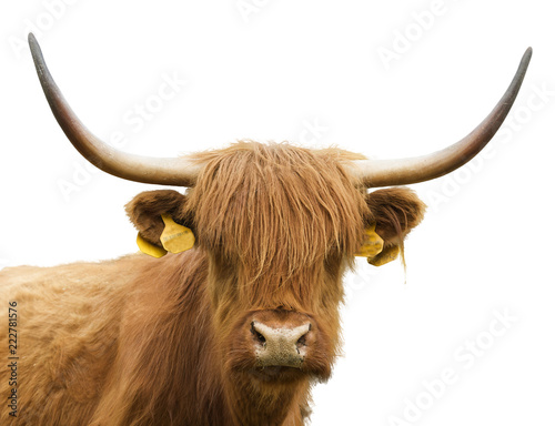 Fototapety, obrazy: Isolated head of a cow and a bull of Highland cattle on a white background. Scottish cow on white background. Highland cattle cow and bull are isolated on white background