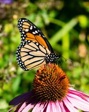 Monarch Butterfly Feeding On A...