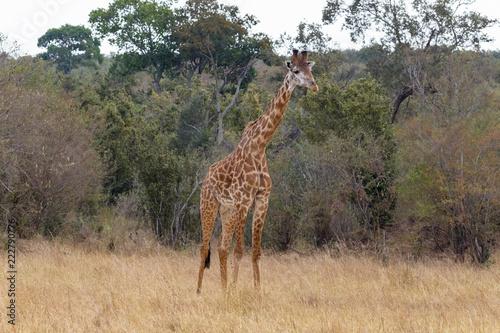 Plakat Masai żyrafa blisko krawędzi lasu. Masai Mara, Kenia
