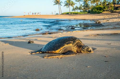Fotografie, Obraz  Honu (Hawaiin Sea Turtle) come on shore to rest