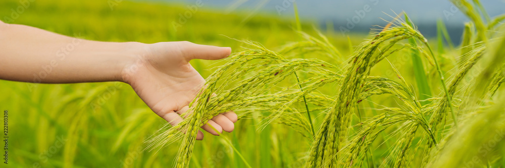 Fototapeta Ripe ears of rice in a woman's hand. Products from rice concept. Rice flakes, flour, drink, rice sake vodka BANNER, long format
