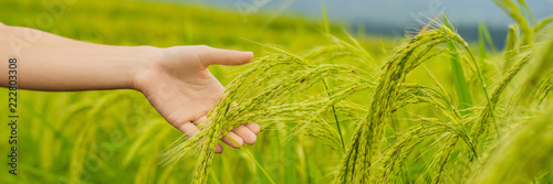 Fototapeta Ripe ears of rice in a woman's hand. Products from rice concept. Rice flakes, flour, drink, rice sake vodka BANNER, long format obraz