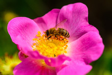 Honey Bee. Nectar For Honey. Beeswax. Bumblebee Sitting On Flower And Colecting Polle. Little Insect Sitting On Purple Beautiful Flower. Eco Products From Nature. Summer Flower And Small Insect.