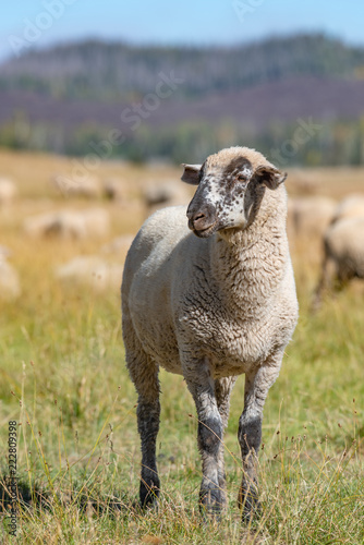 A young sheep with a black and white face stops to pose.
