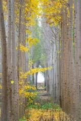 Fototapeta Las Poplar tree rows in Autumn