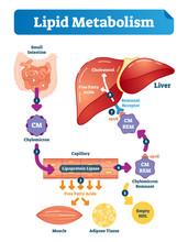 Lipid Metabolism Vector Illustration Infographic. Labeled Medical Scheme.