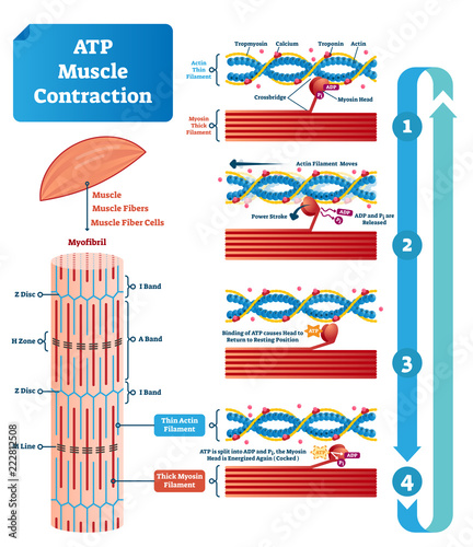 Fototapeta ATP muscle contraction cycle vector illustration labeled educational scheme obraz