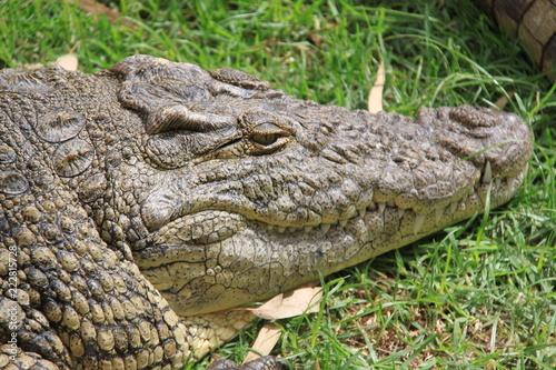 Spoed Foto op Canvas Krokodil crocodile