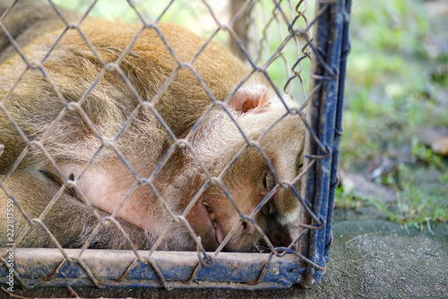 Unhappy unhealthy monkey in the steel cage