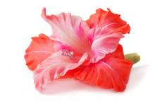 Gladiolus Flowers Bunch Isolat...
