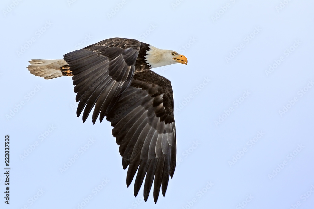 Profile of mature Bald Eagle in flight, focused.