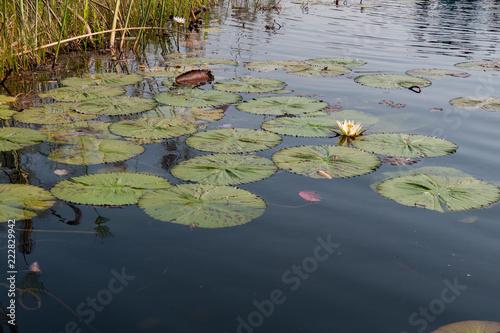 Deurstickers Waterlelies Waterlilies on the Okavango Delta, Botswana