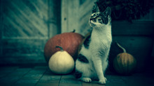 Cat With Amputated Leg Sitting In Front Of Front Door Decorated With Pumpkins For The Halloween, Thanksgiving, Autumn Season. Dark Spooky Mood Background.