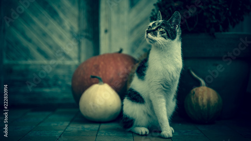 Photo Cat with amputated leg sitting in front of front door decorated with pumpkins for the Halloween, Thanksgiving, Autumn season