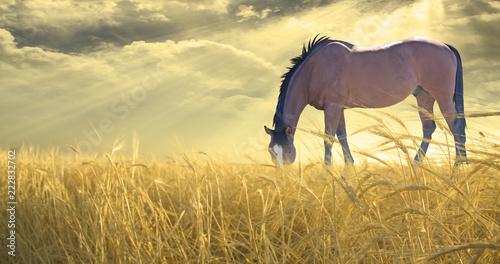 Wypas koni w polu