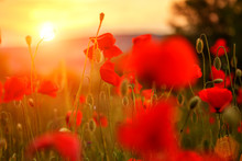 Red Poppies In The Field In The Sunset