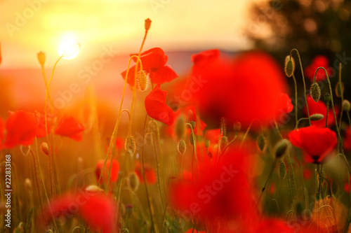 Poster de jardin Poppy red poppies in the field in the sunset