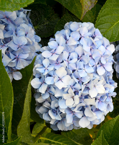 Spoed Foto op Canvas Hydrangea Blue Hydrangea (Hydrangea macrophylla) or Hortensia flowers in the garden.Decorative plants concept.Selective focus.