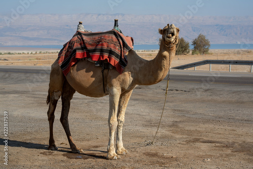 Tuinposter Kameel Camel looking at the camera while standing still close to the road