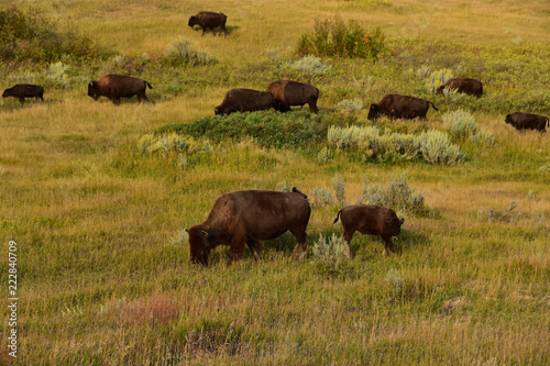 Aluminium Prints Herd of buffalo grazing the prairie of North Dakota.