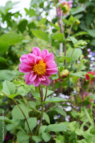 Photo Dahlia with pink petals growing in a flower garden