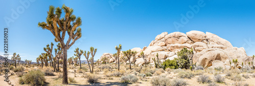 Panorama of Joshua trees (Yucca brevifolia) in Hall of Horrors area of Joshua Tree National Park, California