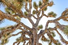 Joshua Tree (Yucca Brevifolia)...