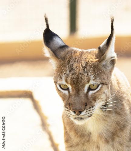 Spoed Foto op Canvas Lynx animal precious lynx