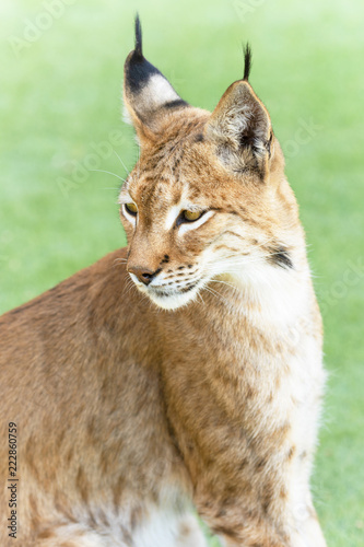 Foto op Canvas Lynx animal precious lynx