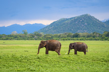 Elephants In Sri Lanka. Two Yo...