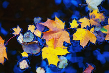 Colorful Autumn Leaves Floating On Water Surface.