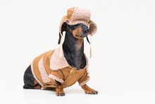 Portrait On A Cute Dog Breed Dachshund, Black And Tan,  In Winter Clothes, Fur Hat, Fallen On Eyes, And Sheepskin Coat, Isolated On Gray Background.