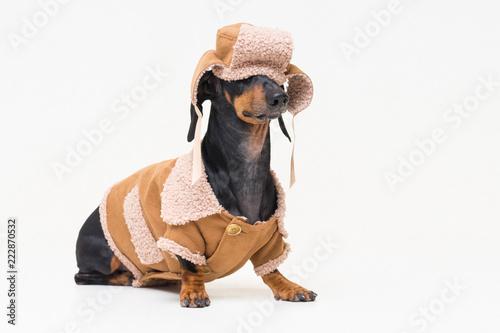 portret-jamnika-rasy-uroczych-psow