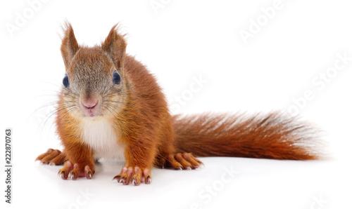 Fotomural  Eurasian red squirrel.