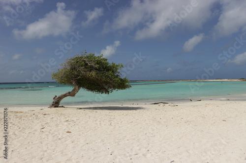 Arvore divi divi na praia Canvas Print