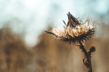 Dry Thistle, Common Thistle, O...
