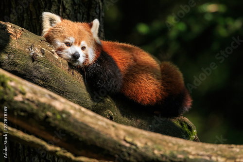 Keuken foto achterwand Panda Red panda resting on a branch after lunch