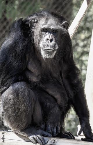 Fotografie, Obraz  Chimpanzee Sitting Staring