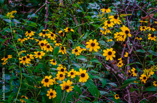 Fotografia, Obraz  Many Black-Eyed Susan flowers in the wild undergrowth