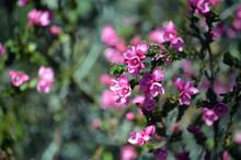 Deep Pink Flowers Of The Austr...