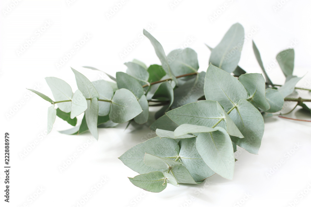 Fototapeta Closeup of green eucalyptus leaves branches on white table background. Floral composition, feminine styled stock image. Selective focus.