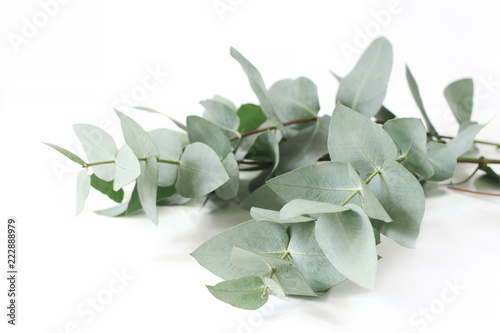 Closeup of green eucalyptus leaves branches on white table background. Floral composition, feminine styled stock image. Selective focus.
