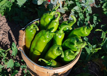 Basket Of Hatch Green Chilies