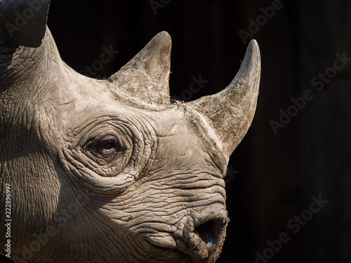 Poster Rhino A closeup view of the head and horns of a large adult eastern black rhinoceros.