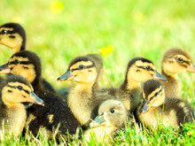 Adorable Close Up Photograph Of A Group Of Soft And Cute Baby Ducklings On Green Grass With Yellow Wildflowers And Bright Sun Lighting Shining Down From Above In Spring Or Summer.