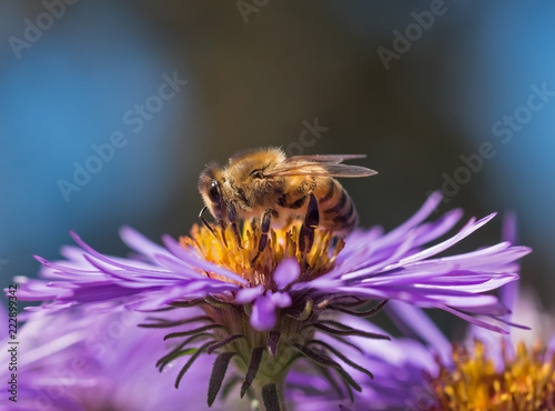 Photo Honeybee (Apis mellifera) gathering nectar and pollen on a purple aster flower