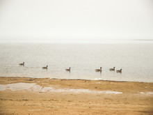 Several Canadian Geese Swimmin...