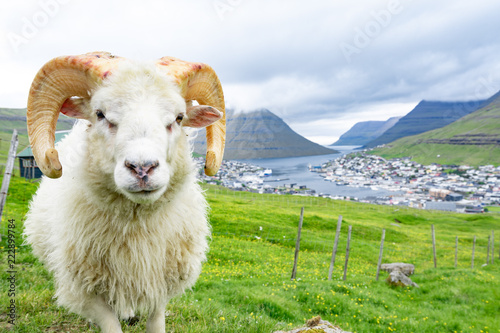 Fotobehang Schapen Closed up of white ram in sheep agriculture farm with green grass and high mountain with city in the background with cloudy weather sky in Faroe Islands rural