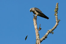 Juvenile Mississippi Kite Watching A Leaf Fall In The Wind
