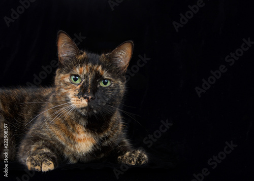 Fotografie, Obraz  Portrait of a black and orange tortoiseshell tortie torbie tabby with green eyes on black background looking at viewer